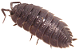 Isopods Icon